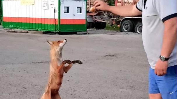 Медведь искал путь домой, а лиса угостилась оладушками у кафе на Вологодчине