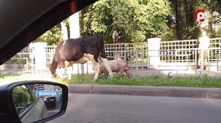 На одной из улиц Вологды гуляют без хозяев корова и свинья