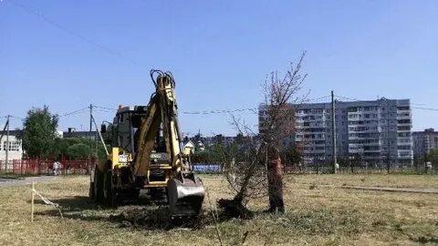 Засохшие от аномальной жары ели в Вологде заменят на новые