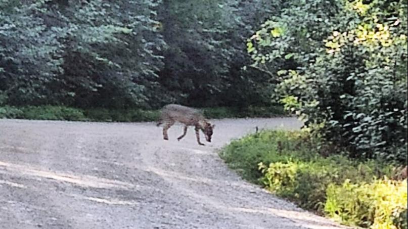 Волк, который выходил к людям у Онежского озера, пока не обнаружен