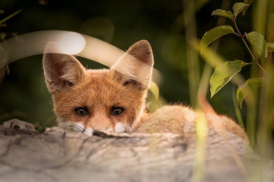 Случаи бешенства выявлены у лис и домашних собак