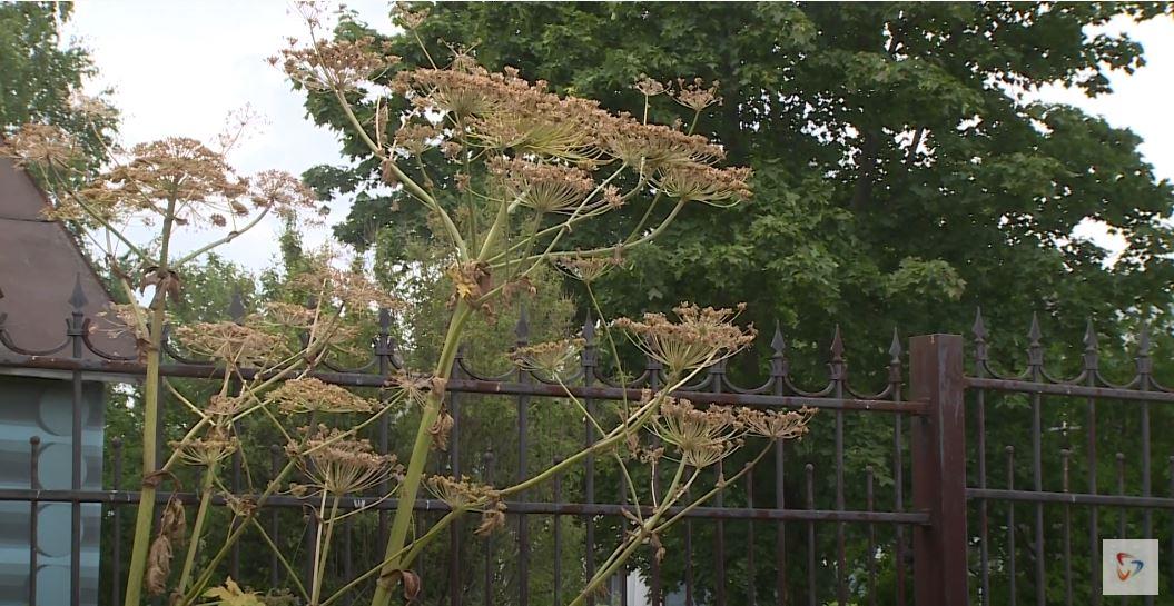 Около усадьбы Гальских некоторые стебли борщевика размером с небольшое деревце