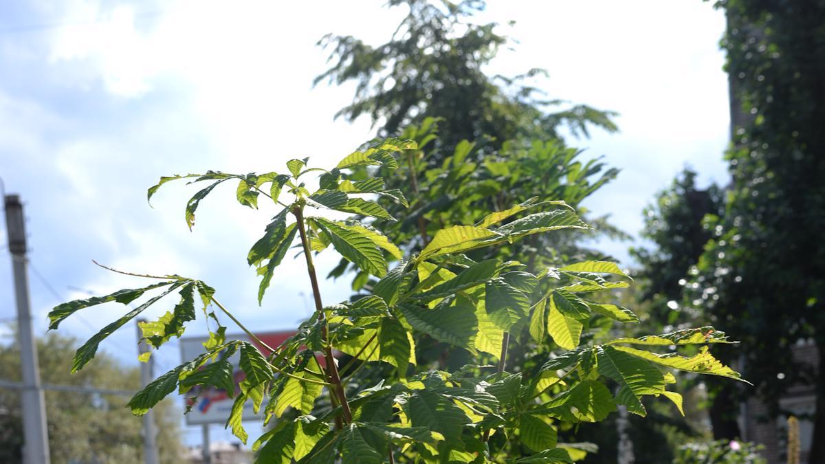 Череповчане посадили каштаны во дворе