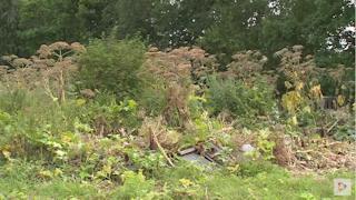 Спецкомиссия оценит работу подрядчика, которого ранее нанимали для уничтожения растения