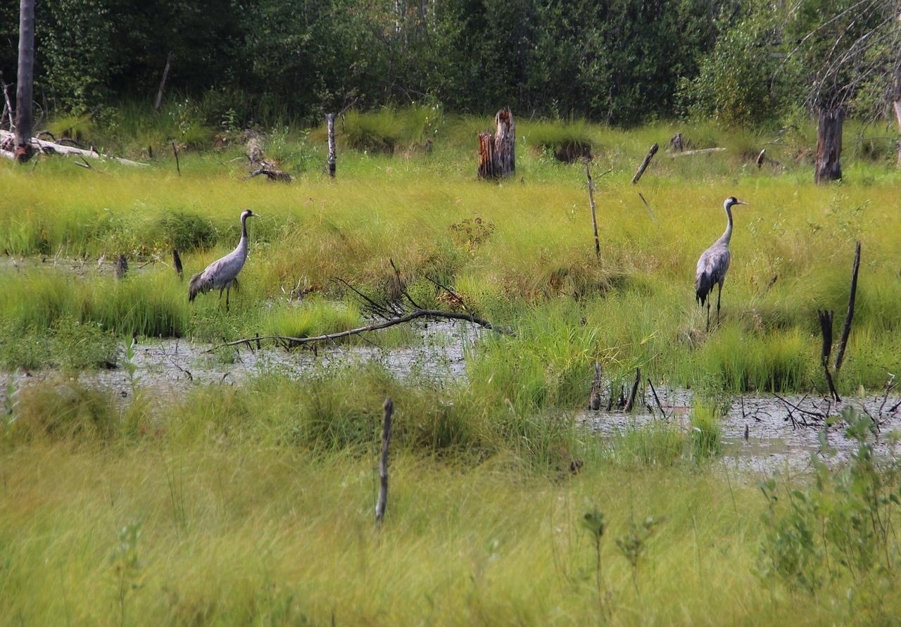 Редких птиц видели недалеко от Ундозера