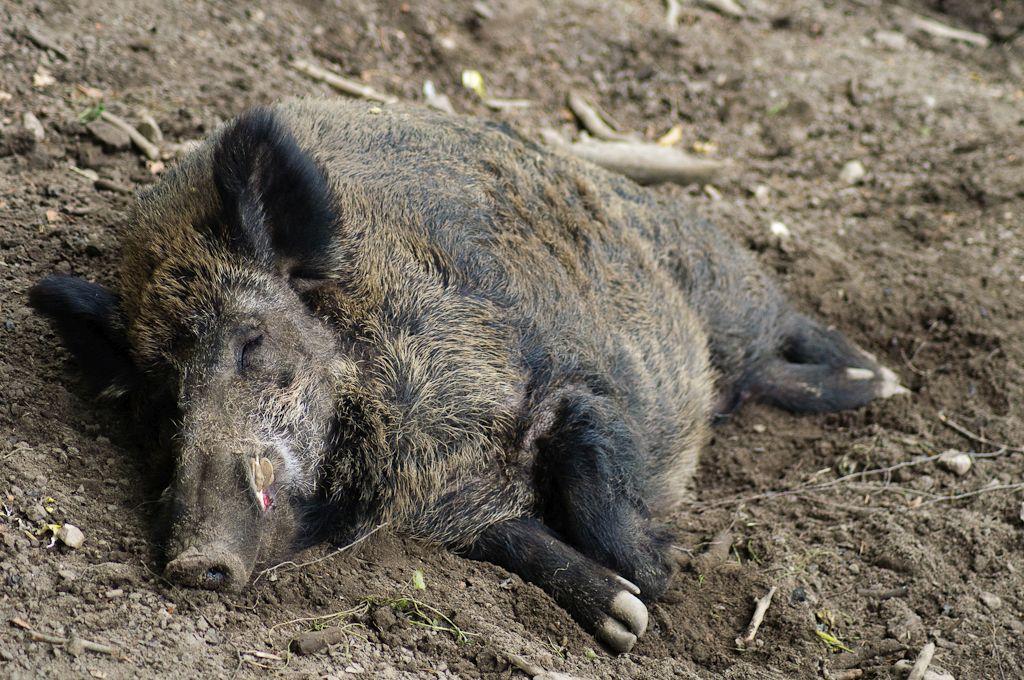 Причиной смерти животных стала африканская чума свиней