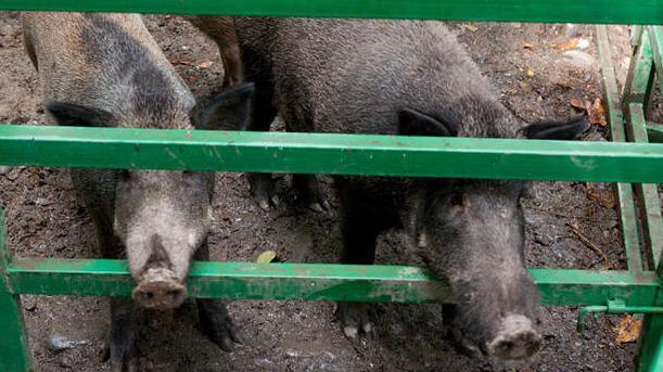 Африканскую чуму свиней выявили в соседней с Вологодчиной областью