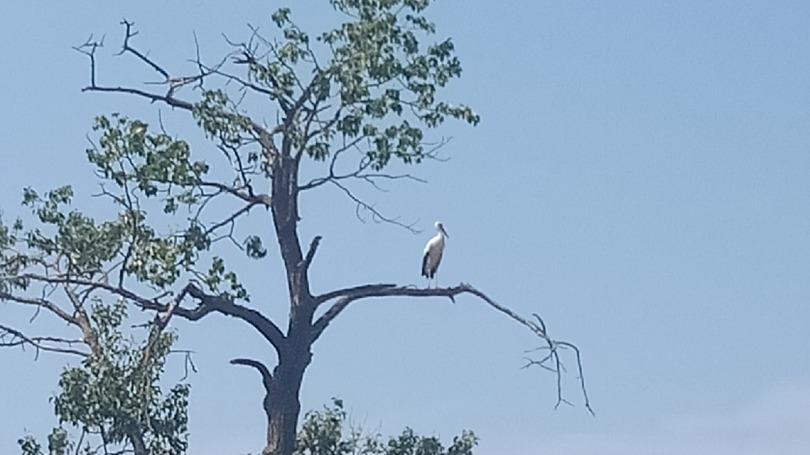 Белых аистов наблюдают жители Грязовецкого района