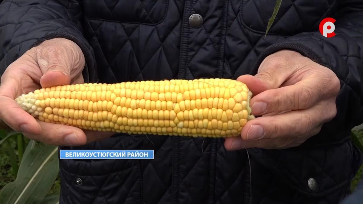 Кукурузу научились выращивать в Великоустюгском районе