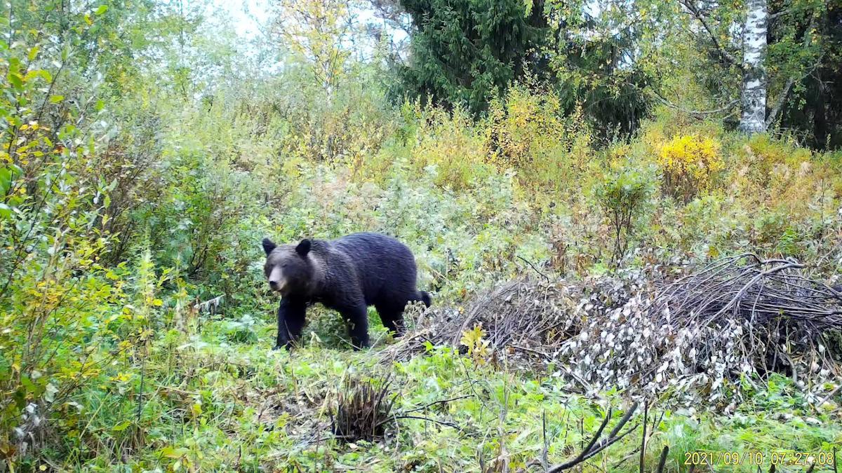 Вальяжный медведь попал в объектив видеокамеры на Вологодчине