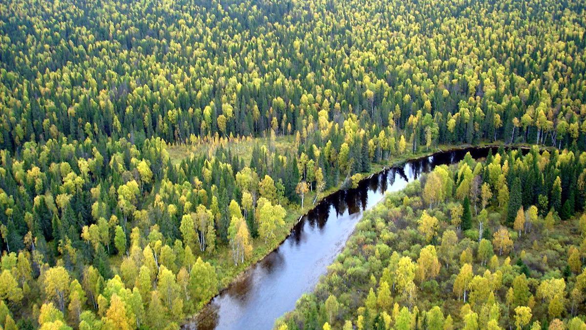 Работы по восстановлению лесов Вологодской области практически выполнены