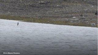 Учёные «Русской Арктики» обнаружили ласточек насевере Новой Земли