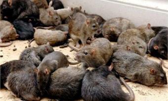 Всоседнем регионе зафиксировали всплеск мышиной лихорадки. Естьли опасность для вологжан?