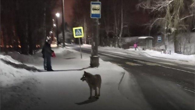 Кто икак вАрхангельске пытается уберечь горожан отнашествия волков