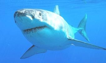 Акула-людоед появилась вРоссии