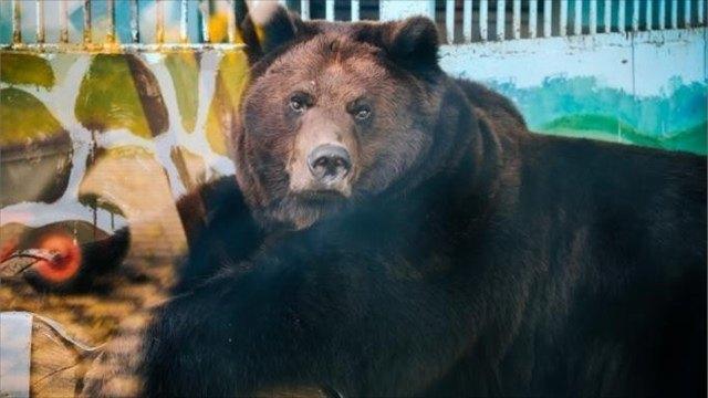 Медведи влипецком зоопарке никак немогут уснуть