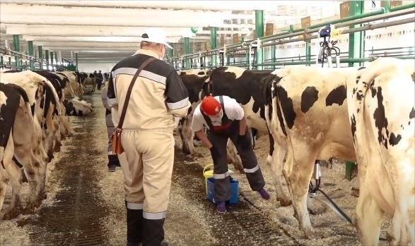 41-ый конкурс мастеров машинного доения коров состоялся наВологодчине