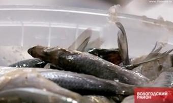 Вологжане едят вдвое меньше рыбы, чем положено