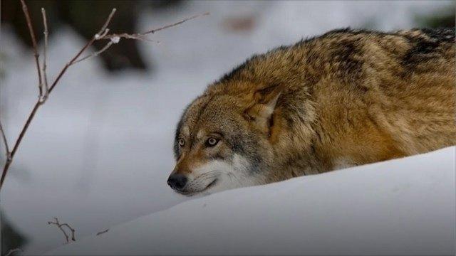 Волк укусил северянина