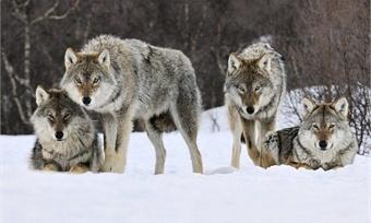 НаВологодчине свирепствуют волки