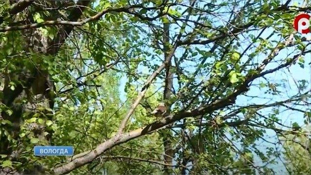 Пением соловьев всвоих дворах наслаждаются жители Вологодчины