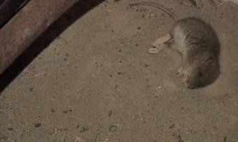 Крысы захватили череповецкий дом
