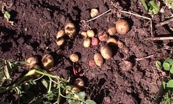 «Пойдем копать картошку!»— сезон дачных «раскопок» подходит кконцу