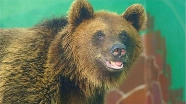 Липецкая медведица Машка мается бессоницей