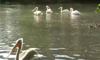 Впензенском зоопарке провели показательные кормления пеликанов