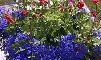 Французская жимолость ивечно цветущие сады украсили кадуйские дворы